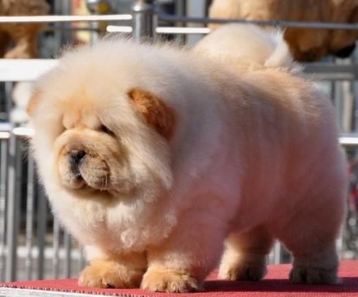 极品松狮幼犬,憨厚,可爱, 带血统证书签订售后协议
