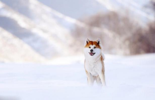 它的笑治愈人心 这么暖的秋田犬你不想养一只吗?5