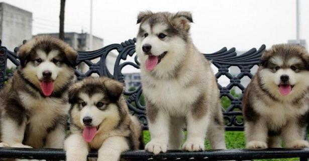 想养一只阿拉斯加,怎么挑选幼犬?眼缘最重要6