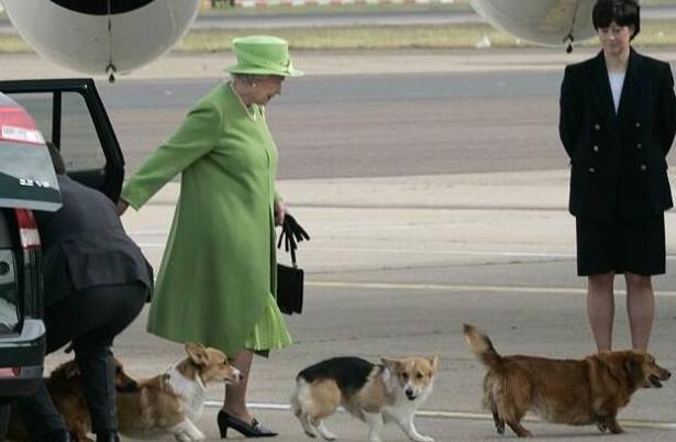 成为王室宠物800年,柯基犬有什么特质吗5