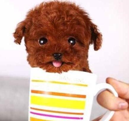 娇小可爱的茶杯犬 随便卖个萌就能圈粉无数6