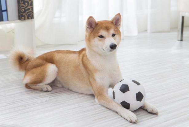 你知道柴犬凭什么招人喜爱吗?5