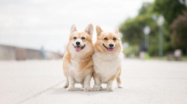 大型犬不受欢迎?为何现在养小型犬的人越来越多5