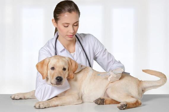 狗狗怀孕的表现有哪些?分辨狗狗怀孕的三个症状6