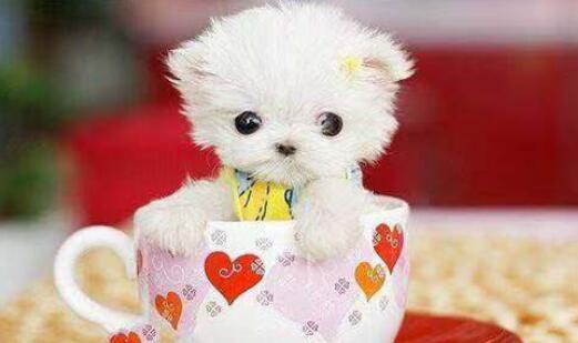 萌化人心的茶杯犬,让我们爱不释手5