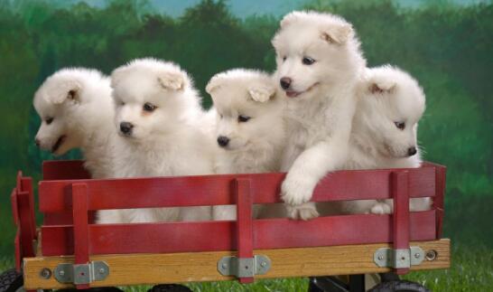 王思聪养阿拉斯加、霍思燕养贵宾,明星都养什么狗狗5