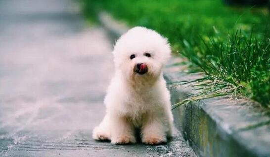 王思聪养阿拉斯加、霍思燕养贵宾,明星都养什么狗狗8