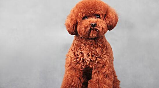 泰迪犬的幼犬应该如何挑选5