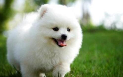 博美犬具备哪些特征,如何挑选6