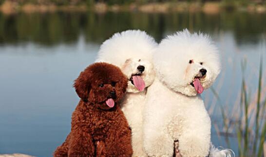 泰迪犬的幼犬应该如何挑选6