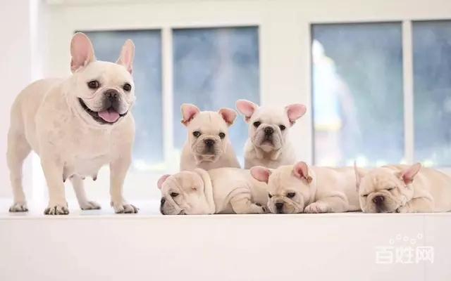 国内最具规模的专业繁殖法国斗牛犬犬舍,保纯种保健康