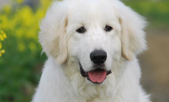 面相非常老实的大白熊犬,应该如何去挑选5