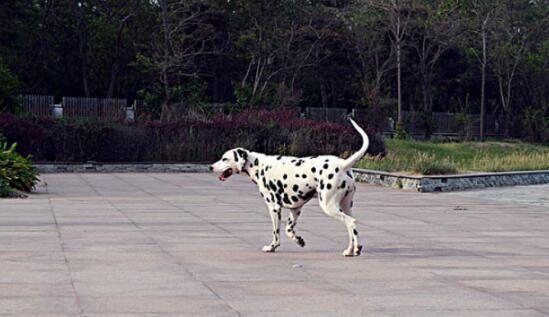 满身小斑点的斑点狗,应该什么去挑选?6