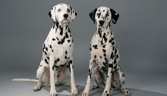 满身小斑点的斑点狗,应该什么去挑选?5
