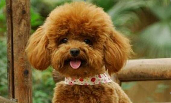 泰迪犬天生卷毛洋气,怎样装饰更出彩呢?5