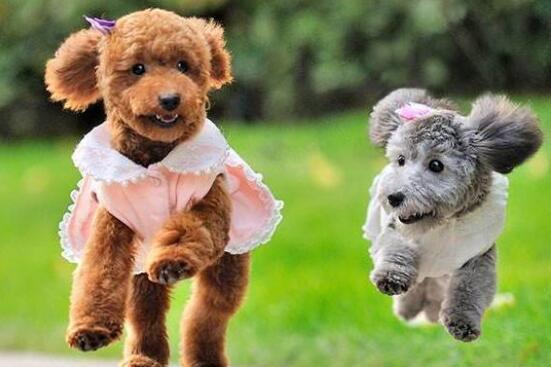泰迪犬天生卷毛洋气,怎样装饰更出彩呢?6