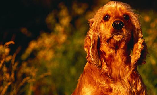 比较小众的可卡犬,作为主人应该如何挑选5