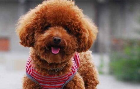 新人想养一只泰迪,在养狗之前你要知道这三件事!6