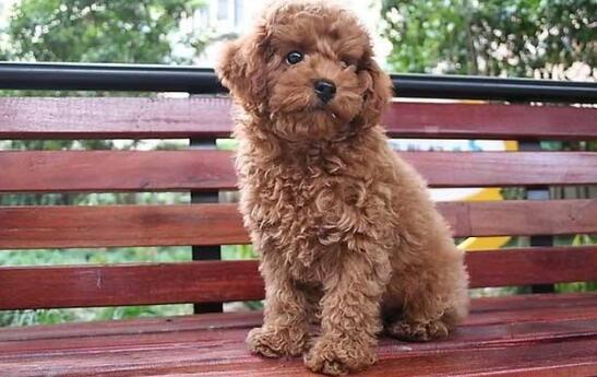 泰迪犬如何喂养,才能聪明招人爱?6
