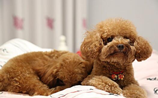 茶杯犬天生体质差,做好护理保健是关键6