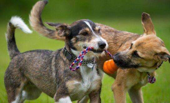 忍不住啦!家里养了两只狗为何一直打架?6