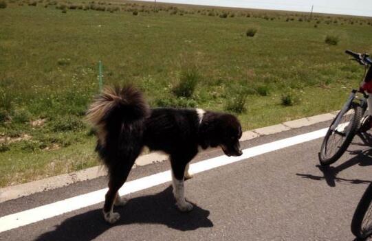 骑行去西藏,要不要带着宠物一块去6