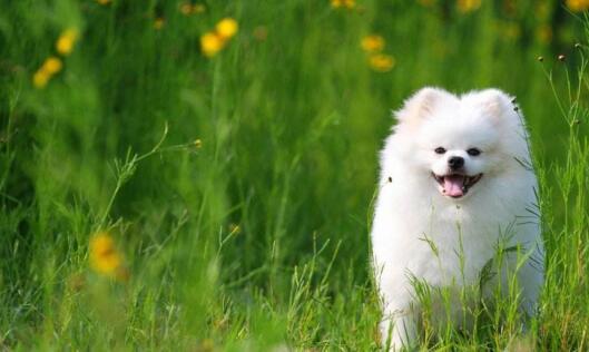 博美犬很适合做伴侣宠物,喂养时要注意这几点5