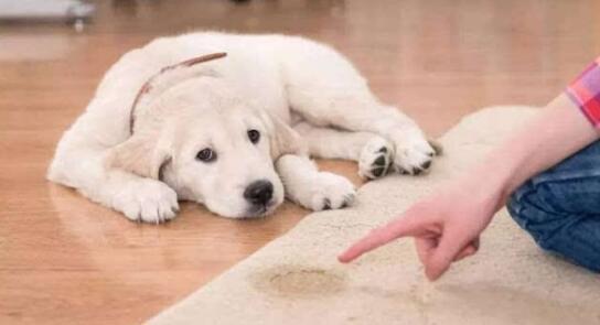 狗狗随地大小便气的直哭!如何训练狗狗定点大小便?6