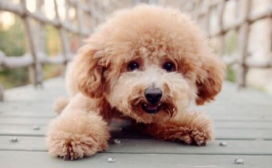 泰迪犬如何喂养,才能聪明招人爱?5