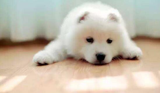 萨摩耶幼犬断奶后,该如何喂养才能保证营养补充5