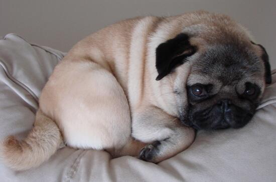 盘点五种适合懒人养的狗子,你喜欢哪一种狗子呢6