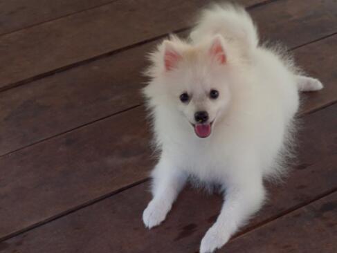 怎么区分银狐犬和萨摩耶呢?教你5招区分6