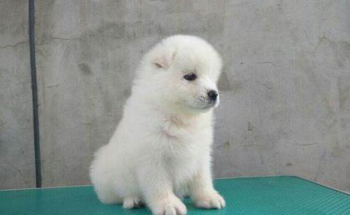 怎么区分银狐犬和萨摩耶呢?教你5招区分5