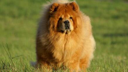 你知道在喂养方面上,松狮犬有什么要求吗5