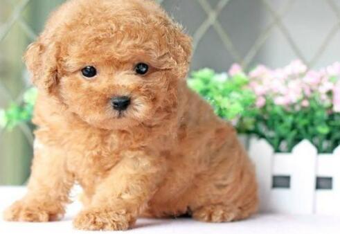如果想养一只可爱的泰迪犬,需要注意什么5