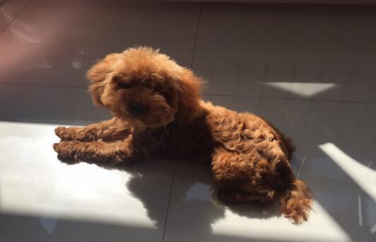 如何正确喂养泰迪犬,防止它出现消化不良6