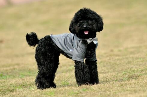 如果想养一只可爱的泰迪犬,需要注意什么6