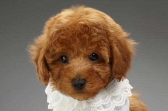 秋季养泰迪犬需要注意什么呢?你知道吗6