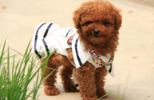 如何正确喂养泰迪犬,防止它出现消化不良5