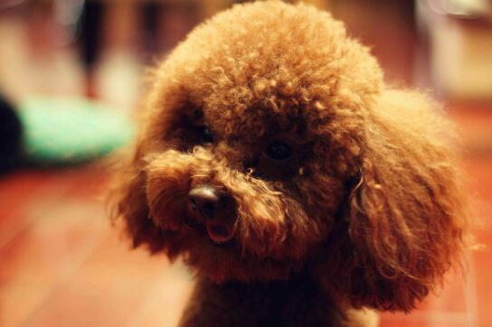 秋季养泰迪犬需要注意什么呢?你知道吗5