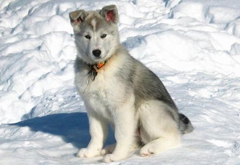 想要养一只哈士奇,怎么挑选一只健康的狗子呢5