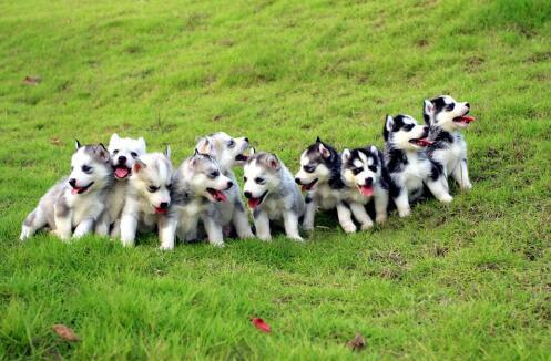 想要养一只哈士奇,怎么挑选一只健康的狗子呢6