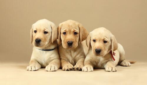 拉布拉多寻回猎犬非常喜欢挑食怎么办呢?5