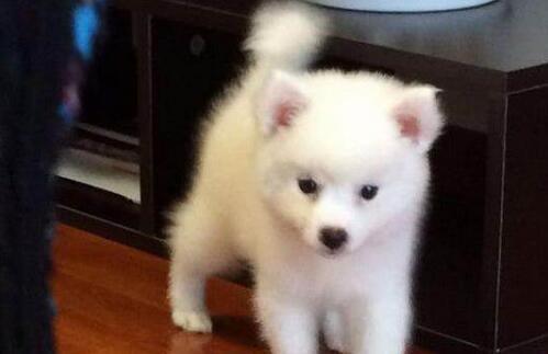 日本银狐犬有哪些疾病是身为铲屎官需要知道的呢6