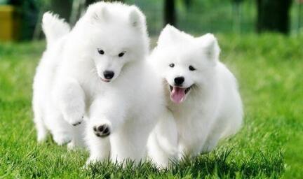 市面上犬种很多,你知道哪些中大型犬适合家庭饲养吗6