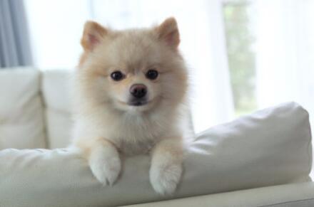萨摩耶和白色博美长得有些相似,这两种狗子哪一种好呢5