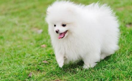 萨摩耶和白色博美长得有些相似,这两种狗子哪一种好呢6