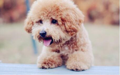 盘点四种掉毛不严重的小型犬,有没有哪种是你喜欢的5