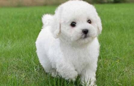 盘点四种掉毛不严重的小型犬,有没有哪种是你喜欢的6