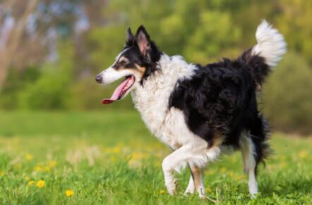 如何正确饲养边境牧羊犬,不看不知道5
